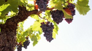 Grapes-Baum-Rod-Fruit-900x1600